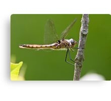 Beaver Pond Basket-tail Dragonfly Canvas Print