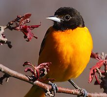 Baltimore Oriole II by naturalnomad