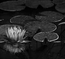 Nymphaea in black & white by Celeste Mookherjee