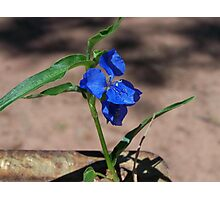 Commelina cyanea (Scurvy Weed) Photographic Print