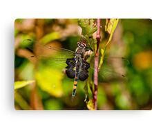 Black Saddlebag Dragonfly Canvas Print