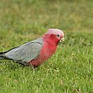Galah by Robert Abraham