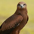 Bird of Prey  Looking by Haggiswonderdog