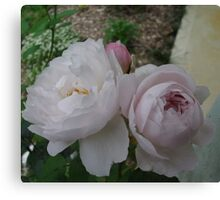 Pale Pink and White Roses. Canvas Print