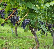 Grapevines At Harvest by Arizonagirl