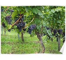 Grapevines At Harvest Poster