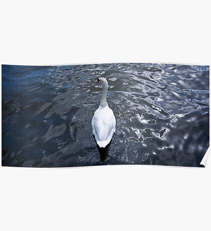 Posing Swan Poster