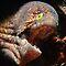 (Sea Life Category) - Order - Anguilliformes - Eels