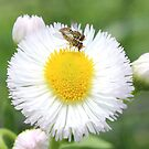 small bugs on flower by SusieG