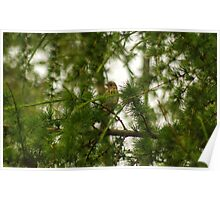 Tree Pipit Poster