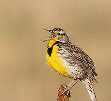 Western Meadowlark 7 by kurtbowmanphoto