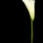 In Full Bloom - Calla lily by Yvonne North Moorhouse