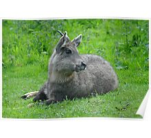 Central Chinese Goral Poster