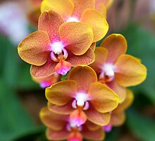 Sunrise Orchids - NYBG Orchid Show 2011 by caitsings