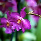 Purple Orchid - NYBG Orchid Show 2011 by caitsings