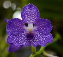 Dark Purple Orchid - NYBG Orchid Show 2011 by caitsings