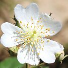 Blackberry Blossom by SusieG