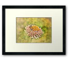 Beetle on the Strawflower Framed Print