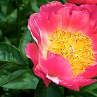 Pink and Yellow Peony - NYBG Spanish Paradise Show by caitsings