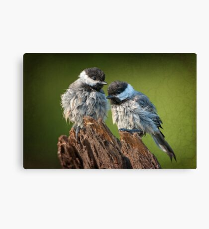 All fluffed up and nowhere to go! Canvas Print