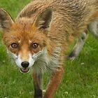 skinny fox ready to run by Birgit Van den Broeck