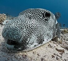 Up close & personal - a giant pufferfish by shellfish