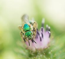 Agapostemon by Annora Ayer