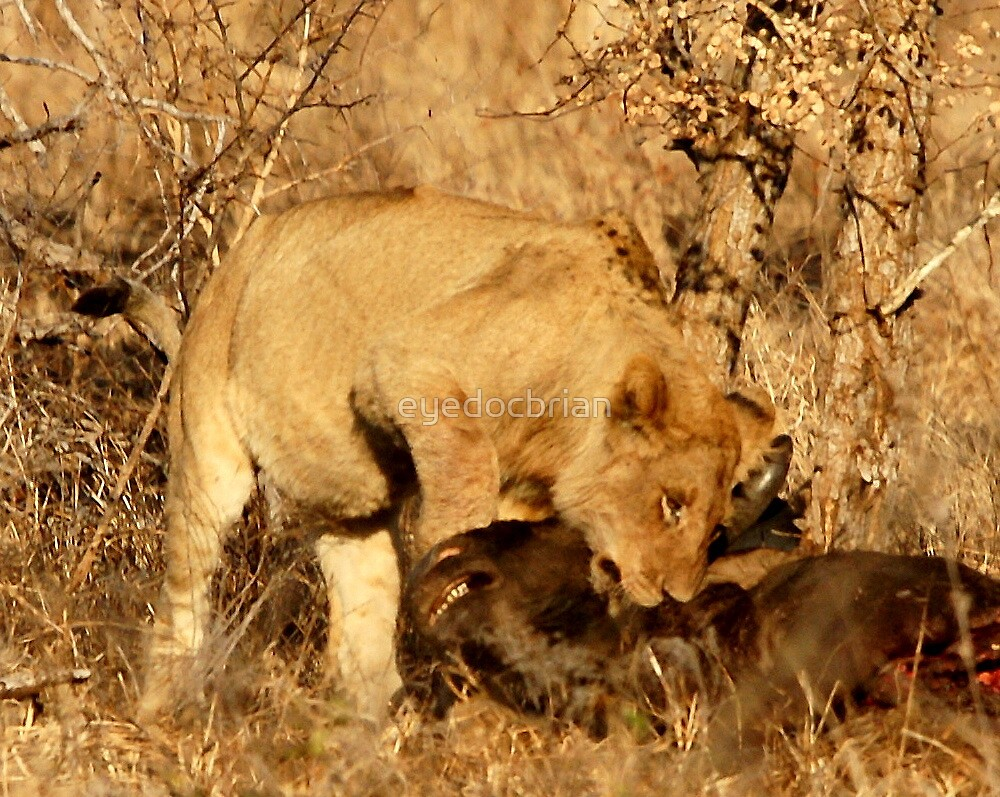 Young Lion at Buffalo Kill - Kruger National Park by eyedocbrian