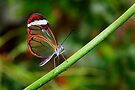 In Balance Glasswing - Greta oto by Lepidoptera