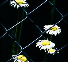 Chained Dasies by Theodore Black