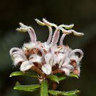 Grey Spider Flower - Grevillea buxifolia by Andrew Trevor-Jones