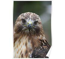 "Red-Tailed Hawk - ""Amanda"" Poster"