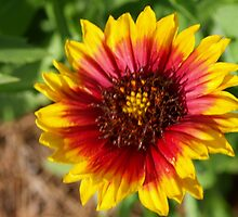 Spring's newest Indian Blanket flower by ♥⊱ B. Randi Bailey