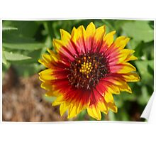 Spring's newest Indian Blanket flower Poster