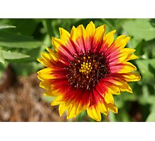 Spring's newest Indian Blanket flower Photographic Print