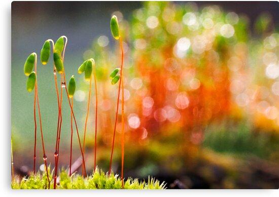 Burning moss by natans