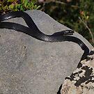 black rat snake, Riserva Naturale di Vendicari, Sicily, Italy by Andrew Jones