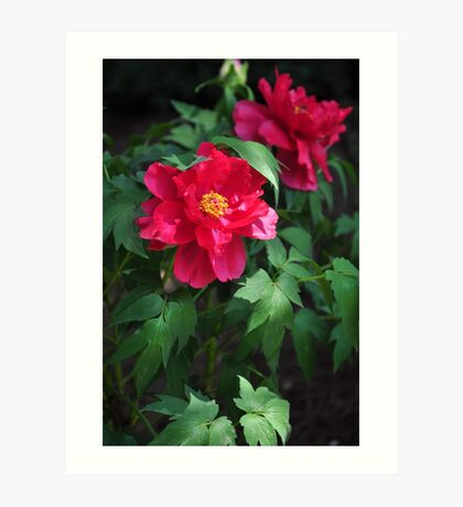 Chinese herbaceous peony Art Print