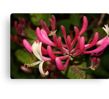 Honeysuckle Stamen Canvas Print