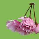 cherry blossom by imagegrabber