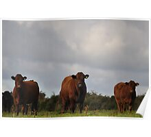 Local cattle Poster