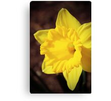 Shining Daffodil Canvas Print