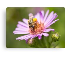 Cute bee on an Aster Canvas Print