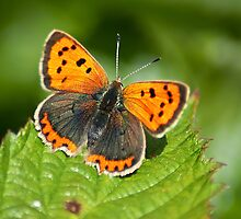 Small Copper full on by KWTImages
