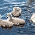 Cygnets by Pauline Tims