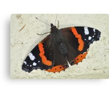 Red Admiral in a Cornish garden Canvas Print