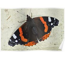 Red Admiral in a Cornish garden Poster