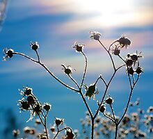 What Alberta Thistles Do in Winter by Mark Iocchelli