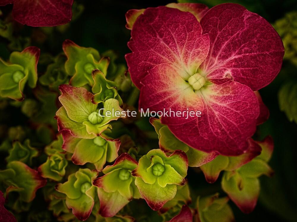 Deep magenta hydrangea by Celeste Mookherjee