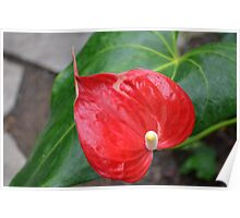 Red Heart Shaped Anthurium and leaf Poster